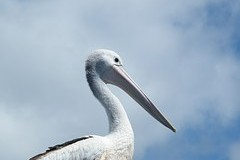 Extinct pelicans returning to the Philippines. Courtly zoo sent to the islands first six birds