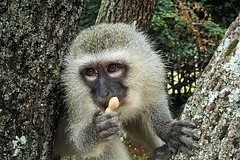 The spread of Ebola contribute to unusual tastes monkeys