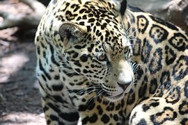 After the ceremony, the Olympic torch was shot dead jaguar