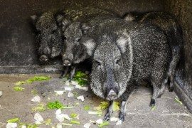 Prague Zoo received a prehistoric animal - peccary Wagner