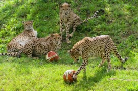 Rollicking whole new ball cheetah family