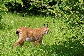 Czech-Bavarian-Austrian lynx population of 60-80 individuals