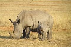 Rhino female Eliska of courtly zoo already residing in Tanzania in a large enclosure