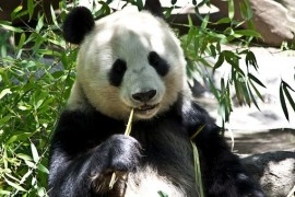 The giant panda is no longer endangered. The population increases