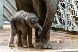 The new elephant in the Prague Zoo!