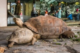 Prague Zoo: New residents a big tortoise pavilion