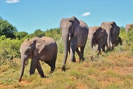 Illegal hunting of elephants standing in Africa $ 25 million a year - on revenues from tourism