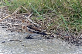 In southern Moravia discovered a rare winter birds: wall creeper and snow bunting
