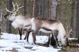Tens of thousands of reindeer on the territory of Siberia die of hunger. Their food imprisoned ice