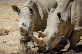 Dvur Kralove Zoo gained a new female Southern White Rhinoceros. His name is Temba