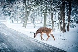 Nelení deer on the road - accidents with animals is increasing
