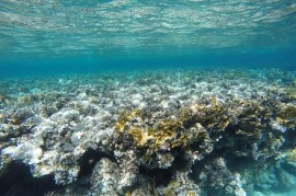 70 percent of Japan's largest coral reef died