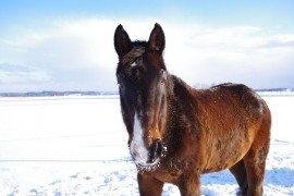 In Milovice he was born the year's first foals wild horses. Snow and cold do not mind