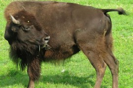 After 140 years, they returned to the Canadian Alberta bison