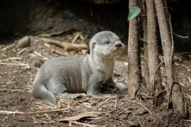 Seven Dwarfs rare otter