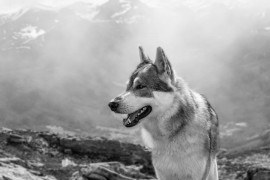 Norwegian wolves threatens to once again come under the fly-hunters