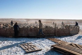 Dzud in Mongolia killing cattle. People in Need helps here already the second winter