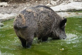 The United States is spreading wild and feral pigs. There are millions