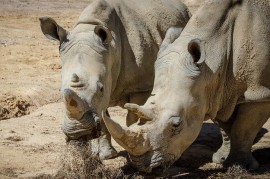 France: Poachers broke into the zoo, shot Young white rhino and cut off his horn