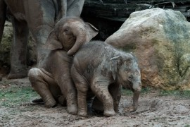 Baby elephants to be the world's elephant herd together again