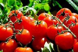Why are tomatoes from the store watery and tasteless?