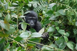 Poaching? Gorillas in DR Congo are dying due to mining