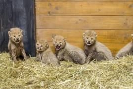 Prague Zoo can boast of cheetahs