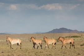 Return of wild horses of Prevalski the seventh