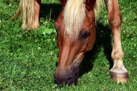 The horses are grazing at the Table Mountains of Pálava. For the first time in modern history
