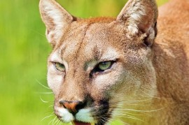 The feared American Puma is paralyzed by people, she said