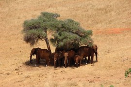 The future of elephants? They would need their own Africa