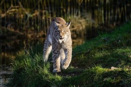 The 3Lynx project is designed to protect three island populations in six European countries