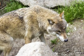 Wolves wake up emotion: it is necessary to talk about the life of these beasts