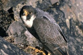 In the Dyje River, a rare migratory falcon grew. For the first time in fifty years