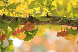Ginkgo biloba - a fashion or a miracle?