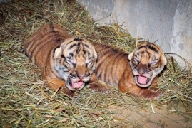 Prague Zoo: Young Maltese tiger is a girl and a boy