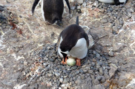 Penguins from Ardley Island survive volcanic eruptions in spite of