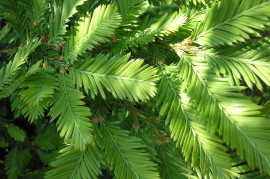 Herbalist for male health: Infertility anchor, erection redwood