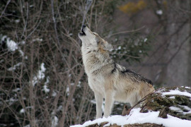 Photopast caught the wolf in Žďárské vrchy. He returned to Vysočina after 190 years