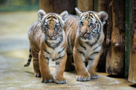 Malaria tigers are growing fearless beasts