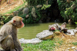 Female macaques abused for their sexual satisfaction of the Siamese Deer. They face uninterestedly