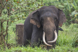 Chinese Ivory Prohibition? It will nasty the common Chinese, but it will not protect the elephants