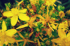 St. John's Wort - a herb easing soul