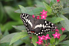 Tropical butterflies will return to Fata Morgana's greenhouse
