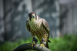 After the winter, the falcons returned to the Central Bohemian Mountains