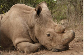 Sudan, the last male of the white northern rhinoceros, is dead