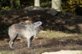A wolf appeared in the Milovice Reserve for the teeth and wild horses
