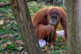 The newly discovered orangutan will soon die. It is in the way of a hydropower plant