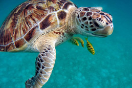 Sea turtles live on the planet for 110 million years