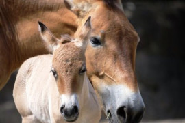 In Prague Zoo, another foal of precious horse was born